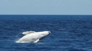 Whale Breaching Hervey Bay